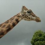 Aitana Giraf