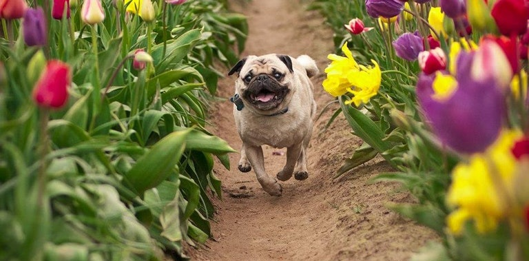As happy as a Pug in a field of tulips.